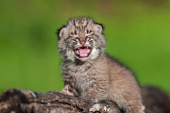 Behandla som ett barn Bobcat Kit (lodjurrufus) skrik uppe på journal Royaltyfri Bild