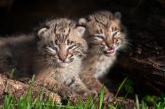 Behandla som ett barn Bobcat Kit (lodjurrufus) stirranden ut Arkivfoton