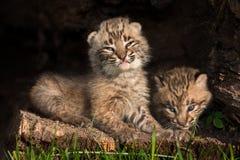Behandla som ett barn Bobcat Kittens (lodjurrufus) i ihålig journal Arkivfoto