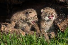 Behandla som ett barn Bobcat Kittens (lodjurrufus) skrik i ihålig journal Royaltyfri Foto