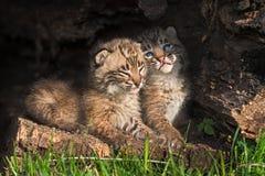 Behandla som ett barn Bobcat Kittens (lodjurrufus) smyga sig i ihålig journal Royaltyfri Bild