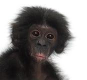 Behandla som ett barn bonobo, pannapaniscusen, 4 gammala månader Fotografering för Bildbyråer