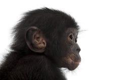 Behandla som ett barn bonobo, pannapaniscusen, 4 gammala månader Arkivfoto