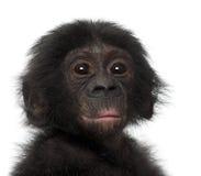 Behandla som ett barn bonobo, pannapaniscusen, 4 gammala månader Royaltyfria Foton