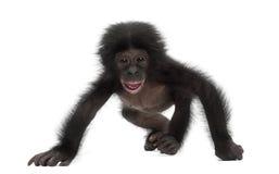 Behandla som ett barn bonobo, pannapaniscusen, 4 gammala som månader går Royaltyfri Foto
