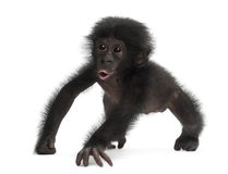 Behandla som ett barn bonobo, pannapaniscusen, 4 gammala som månader går Fotografering för Bildbyråer