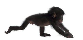 Behandla som ett barn bonobo, pannapaniscusen, 4 gammala som månader går Arkivbild