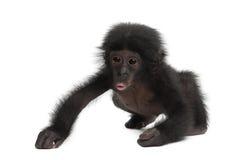Behandla som ett barn bonobo, pannapaniscusen, 4 gammala som månader går Royaltyfri Fotografi