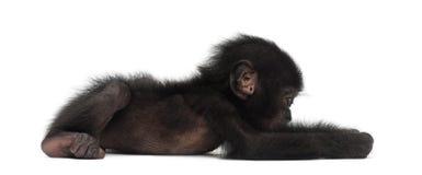 Behandla som ett barn bonobo, pannapaniscusen, 4 gammala som månader ligger Fotografering för Bildbyråer