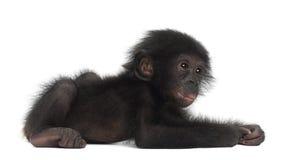 Behandla som ett barn bonobo, pannapaniscusen, 4 gammala som månader ligger Royaltyfria Foton
