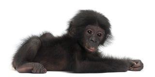Behandla som ett barn bonobo, pannapaniscusen, 4 gammala som månader ligger Royaltyfria Bilder