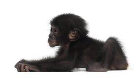 Behandla som ett barn bonobo, pannapaniscusen, 4 gammala som månader ligger Arkivbild