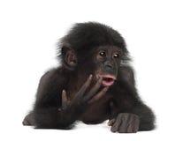 Behandla som ett barn bonobo, pannapaniscusen, 4 gammala som månader ligger Royaltyfri Bild