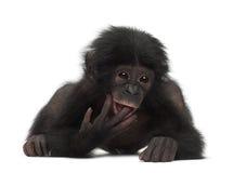 Behandla som ett barn bonobo, pannapaniscusen, 4 gammala som månader ligger Arkivfoto