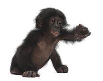 Behandla som ett barn bonobo, pannapaniscusen, 4 gammala som månader sitter Royaltyfria Bilder