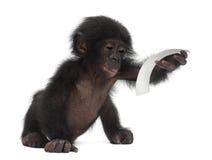 Behandla som ett barn bonobo, pannapaniscusen, 4 gammala som månader sitter Royaltyfri Bild