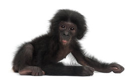 Behandla som ett barn bonobo, pannapaniscusen, 4 gammala som månader sitter Arkivbilder
