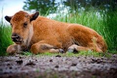 behandla som ett barn buffelläggande Royaltyfria Foton