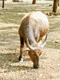 Behandla som ett barn buffeln Royaltyfria Bilder
