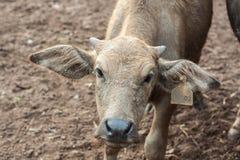 Behandla som ett barn buffeln i Thailand Royaltyfria Bilder