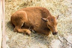 Behandla som ett barn buffeln i zoo Arkivbilder