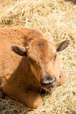 Behandla som ett barn buffeln som är nära upp i zoo Royaltyfri Bild