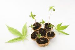 Behandla som ett barn cannabisväxten som växer gröna sidor Royaltyfria Bilder