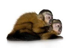 behandla som ett barn capuchinssapajou två Arkivbild