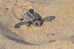 behandla som ett barn carettaloggerheadsköldpaddan Royaltyfri Foto