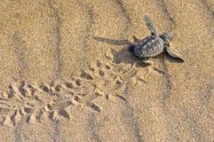 behandla som ett barn carettaloggerheadsköldpaddan Royaltyfri Bild