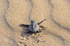 behandla som ett barn carettaloggerheadsköldpaddan Arkivbild