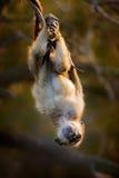 Behandla som ett barn Chacma att hänga som är uppochnervänt Arkivfoto