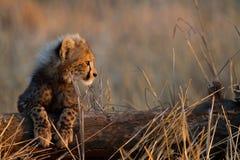 behandla som ett barn cheetahen Arkivbilder