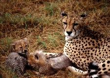 behandla som ett barn cheetahen Arkivfoto