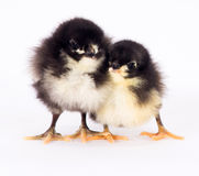 Behandla som ett barn Chick Newborn Farm Chicken Standing vit Australorp variation Royaltyfria Bilder