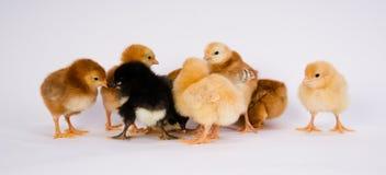 Behandla som ett barn Chick Newborn Farm Chickens Australorp Rhode Island Red Royaltyfri Bild