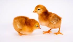 Behandla som ett barn Chick Newborn Farm Chickens Standing vit Rhode Island Red Arkivbilder