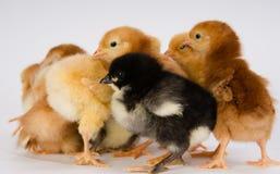Behandla som ett barn Chick Newborn Farm Chickens Standing vita Australorp Varie Royaltyfri Bild