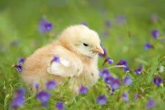 Behandla som ett barn chicken3 Fotografering för Bildbyråer