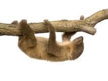 behandla som ett barn choloepusen, didactylus somslothen toed två Royaltyfri Fotografi