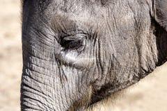 Behandla som ett barn den afrikanska elefanten Fotografering för Bildbyråer