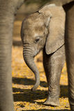 Behandla som ett barn den afrikanska elefanten & x28; Loxodontaafricana& x29; - inramat Royaltyfri Fotografi