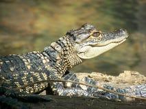 Behandla som ett barn den amerikanska alligatorn Royaltyfria Bilder