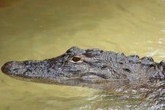 Behandla som ett barn den amerikanska alligatorn Royaltyfri Foto