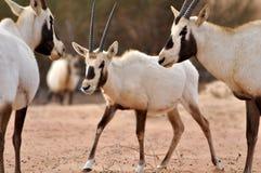 Behandla som ett barn den arabiska oryxantilopet Arkivbild