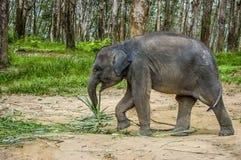 Behandla som ett barn den asiatiska elefanten i södra Thailand Arkivbilder