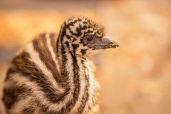 Behandla som ett barn den australiska emu Arkivbild