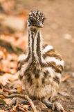 Behandla som ett barn den australiska emu Royaltyfria Foton