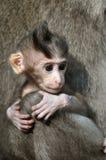 behandla som ett barn den bali indonesia apan Royaltyfri Foto