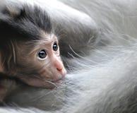 behandla som ett barn den barbary macaqueapan Arkivfoto